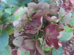 Knospige Hortensienblüte (Bea tedo) Tags: hortensie blüte blume flower pflanze natur hydrangea rosa pink makro macro garten garden