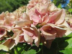 Hortensie in voller Blüte (Bea tedo) Tags: hortensie blüte blume flower pflanze natur hydrangea rosa pink makro macro garten garden