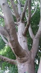 Cedrela salvadorensis (sftrajan) Tags: meliaceae tree cedrelasalvadorensis arbre arbol mesoamericanmontaneforest mexicanplants sanfranciscobotanicgarden strybingarboretum goldengatepark sanfrancisco
