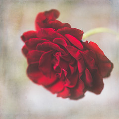249/365 Red Rose (belincs) Tags: rose oneaday macro red flower uk lincolnshire 365 outdoors 2019 september texture 365the2019edition 3652019 day249365 06sep19