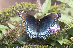 Red Spotted Purple Butterfly - Limenitis arthemis (Dave Boltz) Tags: limenitisarthemis whiteadmiral redspottedpurple butterfly insect canon7dmarkii wildlife nature outdoors lakefrederick frederickcounty virginia