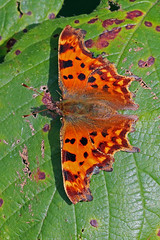 comma (DODO 1959) Tags: wildlife coma butterfly insects macro animal nature outdoor 7dmk2 canon 100400mmmk2 wales carmarthenshire llanelli wwt