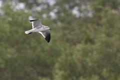 Leucophaeus atricilla / Laughing Gull (LeShello) Tags: costarica cocorocas leucophaeusatricilla laughinggull