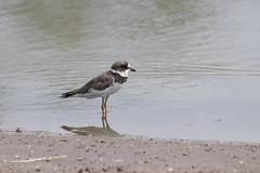 Charadrius semipalmatus / Semipalmated Plover (LeShello) Tags: costarica cocorocas charadriussemipalmatus semipalmatedplover