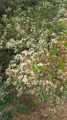 Baeckea virgata (sftrajan) Tags: baeckeavirgata shrub jardinbotanique jardínbotánico sanfranciscobotanicgarden sannanthavirgata myrtaceae botanicgarden strybingarboretum goldengatepark sanfrancisco