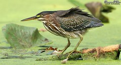 Messy hair, don't care (Shannon Rose O'Shea) Tags: shannonroseoshea shannonosheawildlifephotography shannonoshea shannon greenheron heron bird beak feathers wings skinnylegs birdyfeet longtoes duckweed leaves water green yelloweye yellowfeet yellowlegs breezy windy claws wildwoodlake harrisburg pennsylvania dauphincounty outdoors outdoor outside colorful colourful colors colours closeup close nature wildlife waterfowl art photo photography photograph wwwflickrcomphotosshannonroseoshea flickr smugmug wild wildlifephotography wildlifephotographer wildlifephotograph camera butoridesvirescens canon canoneos80d canon80d canon100400mm14556lisiiusm eos80d eos 80d 80dbird canon80d100400mmusmii 2019 8740 canongirl justagirlwithacamera femalephotographer girlphotographer womanphotographer shootlikeagirl shootwithacamera throughherlens