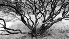 (sftrajan) Tags: tree summer botany californianativeplants botanicgarden bw sanfrancisco californianativeplantsgarden sanfranciscobotanicgarden strybingarboretum goldengatepark