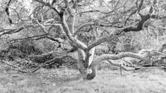 California Buckeye (sftrajan) Tags: aesculuscalifornica californiabuckeye tree hippocastanaceae bw summer verano sapindaceae californianativeplants californianativeplantsgarden sanfranciscobotanicgarden strybingarboretum goldengatepark sanfrancisco
