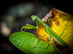 Could you Help me Out (Shannonsong) Tags: mantis prayingmantis carolinamantis insect garden friend nature mantidae