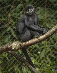 Siamang Pose 2019 (TheArtOfPhotographyByLouisRuth) Tags: siamang monkey ape zooanimals nikond810 200500mmlens thebestshots