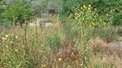 California garden (sftrajan) Tags: wildflowers summer verano botanicalgarden jardínbotánico strybingarboretum september californianativeplants californianativeplantsgarden sanfranciscobotanicgarden goldengatepark sanfrancisco