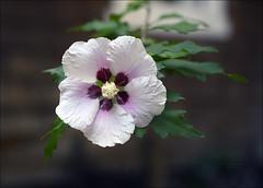 Rose of Sharon (Sherwood Harrington) Tags: fortharrington roseofsharon blossom petals