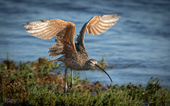 Long-billed Curlew (Numenius americanus) (Don Dunning) Tags: alameda birds california canon7dmarkii canonef100400mmisiiusm curlew elsieroemerbirdsanctuary flight longbilledcurlew numeniusamericanus