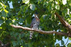 Spizaetus ornatus - Ornate Hawk-Eagle
