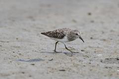 Calidris minutilla / Least Sandpiper (LeShello) Tags: costarica cocorocas calidrisminutilla leastsandpiper