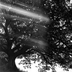 Sydney (Bill Thoo) Tags: sydney nsw newsouthwales australia mrsmacquarieschair royalbotanicalgardenssydney tree light monochrome bw bnw blackandwhite blackandwhitefilm film filmcamera analog analogue landscape urbannature city urban parks mediumformat 120 mediumformatcamera mediumformatfilm hasselblad 500cm hasselblad500cm zeiss zeisscft8028 80mm 8028 6x6 fomapan fomapan400 filmgrain standdeveloping standdevelopment rodinal rodinal1100 r09 r091100 rodinalstanddevelopment homedeveloped
