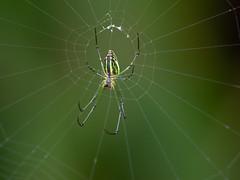 P8260258 (newagefanlee) Tags: 蜘蛛