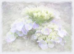 The Amen of nature is always a flower.  (Oliver Wendell Holmes, Sr.) (boeckli) Tags: 39781 flowers flower flora fleur plants pflanzen plant pflanze photoborder painterly pastel pastell textures texturen texture textur blumen blume blüten blossom bloom blossoms blooms hydrangea hortensie smileonsaturday prettyinpastel