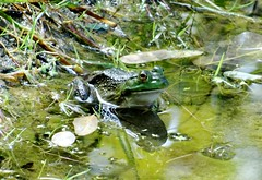 Friday's frog (EcoSnake) Tags: americanbullfrog lithobatescatesbeiana frogs amphibians water wildlife hiding september idahofishandgame naturecenter
