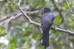 Trogon melanocephalus / Black-headed Trogon (LeShello) Tags: costarica cocorocas trogonmelanocephalus blackheadedtrogon