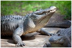 Alligators (~ veronicajwilliams photography ~) Tags: veronicajwilliamsphotography veronicajwilliams copyrighted adelaide adelaidezoo alligator alligators canon70200mmf28l canon70200mm canon canon5dmarkii canonaustralia southaustralia animals reptiles reptile teeth