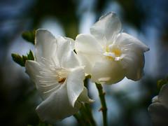Anglų lietuvių žodynas. Žodis garden-white reiškia n zool. (kopūstinis) baltukas lietuviškai.