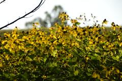 Great Smoky Mountains NP | DSC_0608 (Kaemattson) Tags: greatsmokymountainsnationalpark greatsmokymountains np mountains blueridgemountains appalachianmountain appalachiantrail trail hiking tennessee tn townsendtn cadescove flowers yellow wildflowers flora
