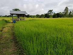Rice paddy in Phon Phisai 1 (SierraSunrise) Tags: thailand phonphisai nongkhai isaan esarn farming agriculture paddy paddyrice ricepaddy ricepaddies shed hut field
