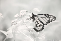 monarch - 720nm infrared (Brian M Hale) Tags: ir infrared kolari vision kolarivision 720nm butterfly insect outside outdoors nature tower hill botanic botanical garden boylston ma mass massachusetts newengland usa brian hale brianhalephoto monarch