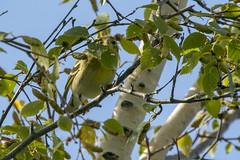 Blackpoll warbler (Setophaga striata) (octothorpe enthusiast) Tags: bird saskatoon saskatchewan blackpollwarbler setophagastriata