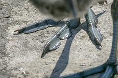 American coot (Fulica americana) (octothorpe enthusiast) Tags: bird saskatoon saskatchewan fulicaamericana americancoot