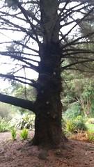 Picea sitchensis. Sitka Spruce (sftrajan) Tags: piceasitchensis sitkaspruce tree botany botanicalgarden sanfranciscobotanicgarden