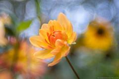 Burst (christopherdeacon) Tags: norway summer flower orange garden oslo meyeroptik meyeroptiktrioplan meyeroptiktrioplan100mm fujifilmxt3 dof shallowdof bokeh