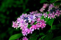 Dance Party (Kei Edamatsu) Tags: flower flowers nature garden hydrangea multicolor