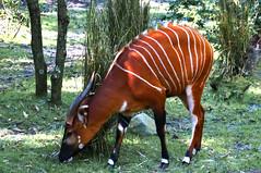 Bongo (Arimm) Tags: arimm tragelaphus eurycerus bongo antelope sony nex6 e 18200mm f3563 oss