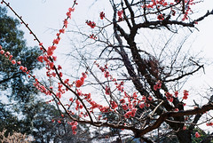 (Kkeina) Tags: film analog manual 35mm 50mm olympus om om1 japan nara spring nature park flowers