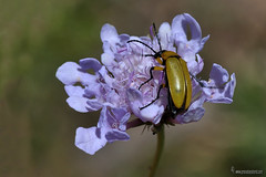 Exosoma lusitanicum sobre Scabiosa (Lucas Gutiérrez) Tags: exosomalusitanicum coleóptero scabiosa acequiagrandedesierranevada parquenacionaldesierranevada insecto laalpujarra capileira granadanatural