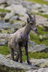 Le bouquetin des Alpes (N.Hell) Tags: ibex animal wild wildlife nature mountain alps green rock portrait sigma 70200mm canon 50d beauty cute impressive show bokeh fur summer meeting