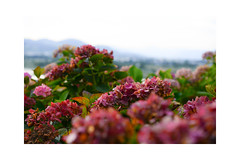 The first misty morning. Summer is almost over. (balu51) Tags: morgenspaziergang morgen sommer hortensien rot rosa morningwalk morning summer misty plants flowers hydrangea red pink green grey bokeh hills august 2019 copyrightbybalu51