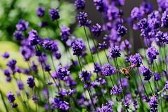 flower 1789 - insect (kaifudo) Tags: sapporo hokkaido japan flower lavender 札幌 札幌市 北海道 ラベンダー 薫衣草 hummingbirdhawkmoth morosphinx nikon d5 nikkor afs 70200mmf28gedvrii 70200mm