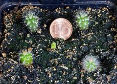 Echinocereus seedlings 2019 (wolfgang.kynast) Tags: kakteen focusstack