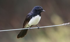 Willy Wagtail 251018 (4) (F) (Richard Collier - Wildlife and Travel Photography) Tags: australia naturalhistory nature birds australianbirds willywagtail