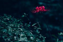 _DSC8688-Edit (imamuan) Tags: flower red autumn tokyo machida yakushiike japan 東京 町田 薬師池 赤 花 曼殊沙華 ヒガンバナ lycoris radiata