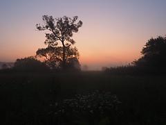 MORGENLICHT P8270009 (hlh 1960) Tags: tree baum morning morgen nature natur landschaft landscape mist misty nebel himmel sky morgenröte farben colour wiese feld blumen flower blossom licht light stille ruhe harmony heimat home germany