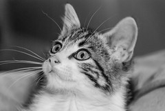 Spyder memories (Picture-Perfect Cats) Tags: spyder tabby cat kitten portrait stray bigeyes wonderment staring cute male catmoments