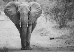 Watching (Sheldrickfalls) Tags: s99 mahonielooproad mahonie pundamaria punda krugernationalpark kruger krugerpark limpopo southafrica loxodantaafricana elephant elephantcow africanelephant