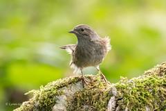 Dunnock D85_9609.jpg (Mobile Lynn) Tags: dunnock birds nature bird fauna passerine prunellamodularis wildlife winchester england unitedkingdom