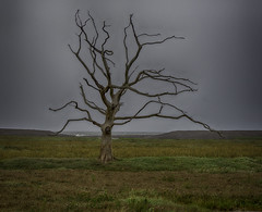 Ghost of a Tree: UK, Exmoor, Porlock Marshes (desimage) Tags: tree deadtree marshes exmoor bossington porlock saltmarshes salineincursion somerset uk england muted layered flora silouette