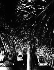 4th Floor (Demmer S) Tags: window hotelwindow windows lookingdown windowview throughglass shootingthroughglass throughwindow behindglass nature foliage plants tree palm palmtrees trees plant palmtree arecaceae botanical botanic arecales tropical palms fronds perennial tropics leaves arboreal windowshot takenthroughglass gulfcoast shotthroughglass throughawindow car automobile parked parkinglot cars vehicles automobiles summer summertime vehicle nighttime night dark evening nightshot nightimages nightphotography atnight bw monochrome blackwhite blackandwhite blackwhitephotos blackwhitephoto