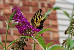 Swallowtail on a Butterfly bush! (ineedathis, Everyday I get up, it's a great day!) Tags: butterfly eastertigerswallowtail pappilloglaucus insect lepidoptera trees butterflybush buddleiadavidii flower purple zoom garden summer nature nikond750 chimney bricks